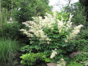 Goatsbeard (Aruncus dioicus var. acuminatus). Another stunning Pacific Northwest native plant available at Sparrowhawk Native Plants Nursery in Portland, Oregon.