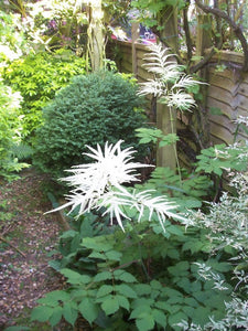 Goatsbeard (Aruncus dioicus var. acuminatus) nicely planted along a narrow shady. Another stunning Pacific Northwest native plant available at Sparrowhawk Native Plants Nursery in Portland, Oregon.