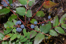 Load image into Gallery viewer, Cascade Oregon Grape with berries (Mahonia nervosa / Berberis nervosa). Another stunning Pacific Northwest native shrub available at Sparrowhawk Native Plants Nursery in Portland, Oregon.