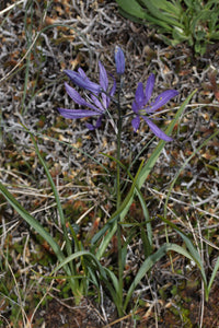 Camassia quamash, Common Camas, Pacific Northwest Native Plants, Oregon Native Plants, Sparrowhawk Native Plants