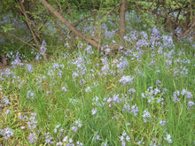 Load image into Gallery viewer, Camassia quamash, Common Camas, Pacific Northwest Native Plants, Oregon Native Plants, Sparrowhawk Native Plants
