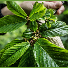 Load image into Gallery viewer, Close-up of Oregon native Cascara tree leaves (Frangula purshiana / Rhamnus purshiana). Another stunning Pacific Northwest native tree available at Sparrowhawk Native Plants Nursery in Portland, Oregon.