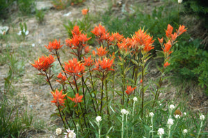 Giant Red Paintbrush (Castilleja miniata) intermixed in a garden bed with native yarrow. Another stunning Pacific Northwest native plant available at Sparrowhawk Native Plants Nursery in Portland, Oregon.