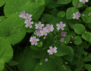 Candy Flower (Claytonia sibirica ) - Native perennial groundcover with white to pink candy-striped flowers and dark green, succulent, edible leaves. Ideal for shady, moist woodland gardens.