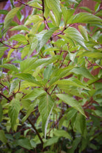 Load image into Gallery viewer, Cornus sericea, Red Twig Dogwood, Pacific Northwest Native Plants, Oregon Native Shrub, Sparrowhawk Native Plants, Portland