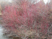 Load image into Gallery viewer, Striking red stems of a large, mature Red Twig Dogwood thicket in winter (Cornus sericea). One of 100+ species of Pacific Northwest native plants available at Sparrowhawk Native Plants, Native Plant Nursery in Portland, Oregon.