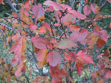 Load image into Gallery viewer, Close-up of bright red fall leaves of Douglas Hawthorn (Crataegus douglasii). Another stunning Pacific Northwest native tree available at Sparrowhawk Native Plants Nursery in Portland, Oregon.