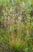 Load image into Gallery viewer, Deschampsia cespitosa, Tufted Hair Grass, Pacific Northwest Native Plants, Oregon Native Grass, Sparrowhawk Native Plants, Portland