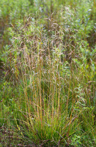 Deschampsia cespitosa, Tufted Hair Grass, Pacific Northwest Native Plants, Oregon Native Grass, Sparrowhawk Native Plants, Portland