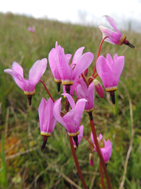 Dodecatheon hendersonii, Broad-Leaved Shooting Star, Henderson's Shooting Star, Pacific Northwest Native Plants, Oregon Native Plants, Sparrowhawk Native Plants