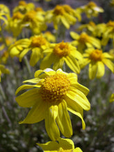 Load image into Gallery viewer, Eriophyllum lanatum, Oregon Sunshine, Pacific Northwest Native Plants, Oregon Native Plant, Sparrowhawk Native Plants, Portland