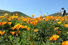 Load image into Gallery viewer, A field of California Poppy (Eschscholzia californica). Another stunning Pacific Northwest native plant available at Sparrowhawk Native Plants Nursery in Portland, Oregon.