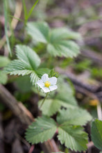 Load image into Gallery viewer, Close-up bright white flower of Oregon's native Wild Strawberry (Fragaria virginiana). One of 100+ species of Pacific Northwest native plants available at Sparrowhawk Native Plants, Native Plant Nursery in Portland, Oregon.