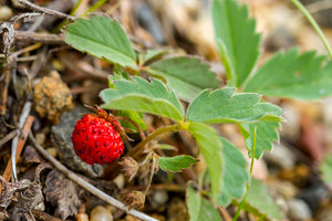 Close-up leaf and fruit of Oregon's native Wild Strawberry (Fragaria virginiana). One of 100+ species of Pacific Northwest native plants available at Sparrowhawk Native Plants, Native Plant Nursery in Portland, Oregon.