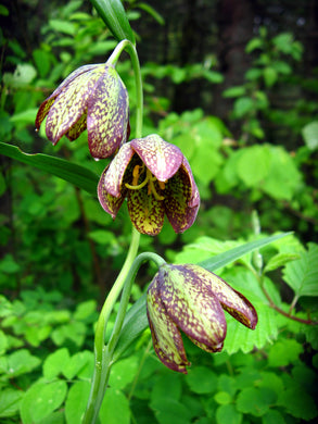 Fritillaria affinis, Checker Lily, Chocolate Lily, Pacific Northwest Native Plants, Oregon Native Plants, Sparrowhawk Native Plants