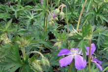 Load image into Gallery viewer, Western Geranium