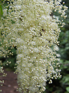 Holodiscus discolor, Oceanspray, Pacific Northwest Native Plants, Oregon Native Plant, Sparrowhawk Native Plants, Portland