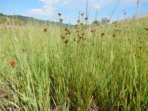 Field of Slender Rush (Juncus tenuis). One of 100+ species of Pacific Northwest native plants available at Sparrowhawk Native Plants, Native Plant Nursery in Portland, Oregon.