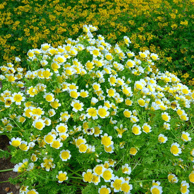 Limnanthes douglasii, Douglas Meadowfoam with bees