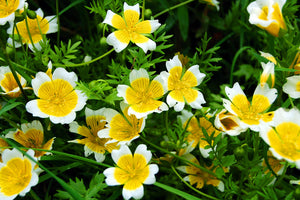 Limnanthes douglasii, Douglas Meadowfoam
