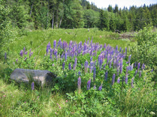 Load image into Gallery viewer, Wet field of Large-leaved Lupine (Lupinus polyphyllus). Another stunning Pacific Northwest native plant available at Sparrowhawk Native Plants Nursery in Portland, Oregon.