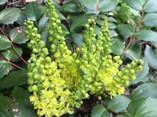 Load image into Gallery viewer, Cascade Oregon Grape