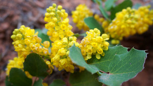 Close-up of Creeping Oregon Grape flower (Mahonia repens). Another stunning Pacific Northwest native plant available at Sparrowhawk Native Plants Nursery in Portland, Oregon.