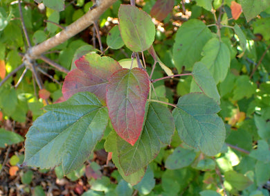 Close-up of leaves of Western Crabapple (Malus fusca) - Oregon native small tree. One of 100+ species of Pacific Northwest native plants available at Sparrowhawk Native Plants, Native Plant Nursery in Portland, Oregon.