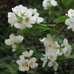 Fragrant white flowers of native Mock Orange shrub (Philadelphus lewisii). One of 100+ species of Pacific Northwest native plants available at Sparrowhawk Native Plants, Native Plant Nursery in Portland, Oregon.