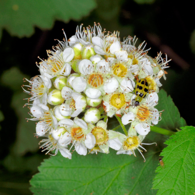 Close-up of Pacific Ninebark flower (Physocarpus capitatus). Another stunning Pacific Northwest native shrub available at Sparrowhawk Native Plants Nursery in Portland, Oregon.