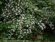 Load image into Gallery viewer, Fragrant white-flowered native Mock Orange shrub (Philadelphus lewisii). One of 100+ species of Pacific Northwest native plants available at Sparrowhawk Native Plants, Native Plant Nursery in Portland, Oregon.