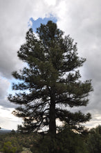 Load image into Gallery viewer, Pinus ponderosa, Ponderosa Pine, Pacific Northwest Native Plants, Oregon Native Plant, Sparrowhawk Native Plants, Portland