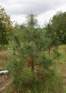 Pinus ponderosa, Ponderosa Pine, Pacific Northwest Native Plants, Oregon Native Plant, Sparrowhawk Native Plants, Portland