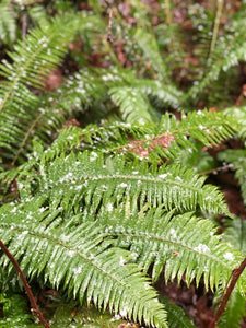 Polystichum munitum, Sword Fern, Pacific Northwest Native Plants, Oregon Native Ferns, Sparrowhawk Native Plants, Portland