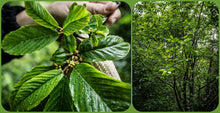 Load image into Gallery viewer, Leaves and habit of Cascara tree (Frangula purshiana / Rhamnus purshiana). Another stunning Pacific Northwest native tree available at Sparrowhawk Native Plants Nursery in Portland, Oregon.