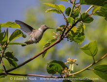 Load image into Gallery viewer, Hummingbird visits Cascara tree (Frangula purshiana / Rhamnus purshiana). Another stunning Pacific Northwest native tree available at Sparrowhawk Native Plants Nursery in Portland, Oregon.