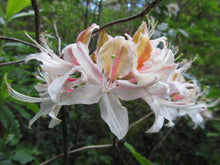 Load image into Gallery viewer, Western Azalea (Rhododendron occidentale) - An exceptionally gorgeous shrub - a true centerpiece in any native garden, particularly in April when it explodes into bloom with five to fifteen, sparkling white or pink, flaring trumpet-shaped flowers per branch, which can be delightfully-scented both sweet and spicy. The foliage emerges a bright shiny green; and graduates to golden yellow, though orange and deep scarlet also occur in autumn.