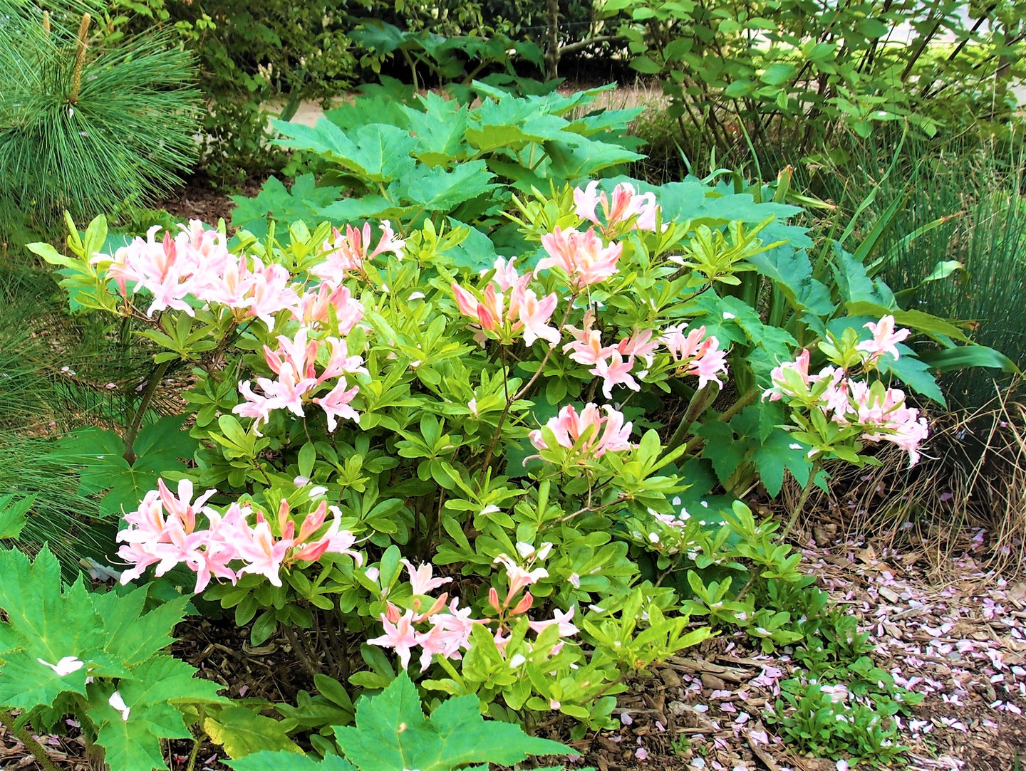 Western Azalea (Rhododendron occidentale) - An exceptionally gorgeous shrub - a true centerpiece in any native garden, particularly in April when it explodes into bloom with five to fifteen, sparkling white or pink, flaring trumpet-shaped flowers per branch, which can be delightfully-scented both sweet and spicy. The foliage emerges a bright shiny green; and graduates to golden yellow, though orange and deep scarlet also occur in autumn.