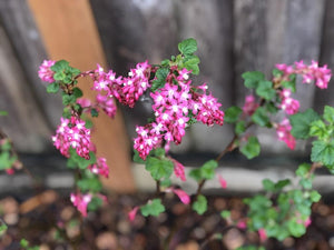 Ribes sanguineum, Red Flowering Current, Pacific Northwest Native Plants, Oregon Native Shrub, Sparrowhawk Native Plants, Portland