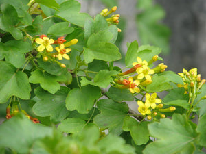 Close-up of leaves and yellow flowers of a Golden Current (Ribes aureum). Another stunning Pacific Northwest native shrub available at Sparrowhawk Native Plants Nursery in Portland, Oregon.