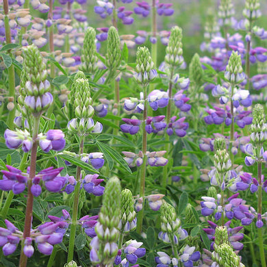 River Lupine