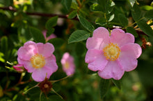 Load image into Gallery viewer, Close up of pink Nootka Rose flower (Rosa nutkana) - native Oregon shrub. One of 100+ species of Pacific Northwest native plants available at Sparrowhawk Native Plants, Native Plant Nursery in Portland, Oregon.