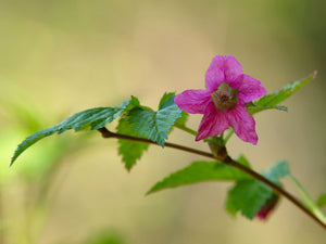 Rubus spectabilis, Salmonberry, Pacific Northwest Native Plants, Oregon Native Shrub, Sparrowhawk Native Plants, Portland