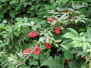 Sambucus racemosa, Red Elderberry, Pacific Northwest Native Plants, Oregon Native Plant, Sparrowhawk Native Plants, Portland