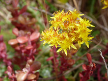 Load image into Gallery viewer, Close-up of Broadleaf Stonecrop, Sedum spathulifolium flower. Another stunning Pacific Northwest native groundcover available at Sparrowhawk Native Plants Nursery in Portland, Oregon.