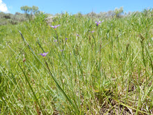Load image into Gallery viewer, A field of Sisyrinchium idahoense, Blue-eyed grass. Another stunning Northwest Native Plant available at Sparrowhawk Native Plants Nursery in Portland, Oregon.
