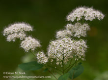Load image into Gallery viewer, Close-up of Birch-leaved Spirea flower, Spiraea betulifolia var. lucida, another stunning Northwest Native Plant available at Sparrowhawk Native Plants Nursery in Portland, Oregon