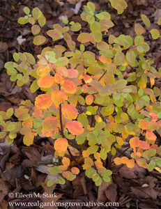 Fall color on the leaves of Birch-leaved Spirea, Spiraea betulifolia var. lucida, another stunning Northwest Native Plant available at Sparrowhawk Native Plants Nursery in Portland, Oregon
