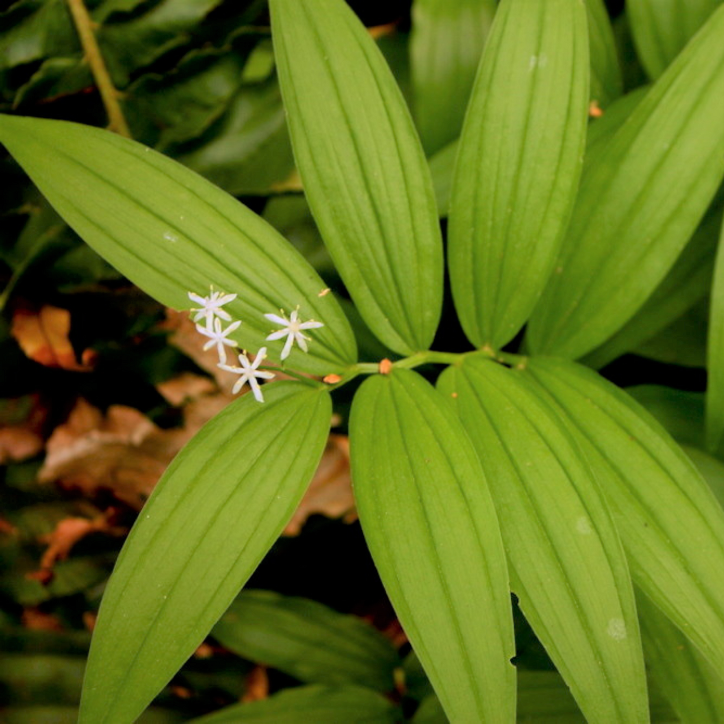 Starry False Solomon's Seal (Maianthemum stellata). One of 100+ species of Pacific Northwest native plants available at Sparrowhawk Native Plants, Native Plant Nursery in Portland, Oregon.