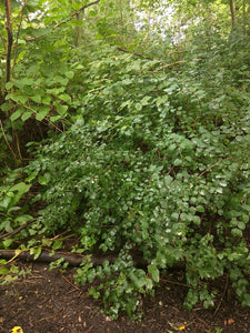 Symphoricarpos albus, Snowberry, Pacific Northwest Native Plants, Oregon Native Shrub, Sparrowhawk Native Plants, Portland